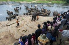 Un gregge degli elefanti dall'orfanotrofio dell'elefante di Pinnawela (Pinnewala) bagna in Maha Oya River nello Sri Lanka central Fotografia Stock