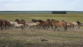 Un gregge dei cavalli funziona attraverso il campo video d archivio