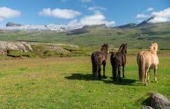 Un gregge dei cavalli islandesi in un pascolo in Islanda Immagine Stock Libera da Diritti