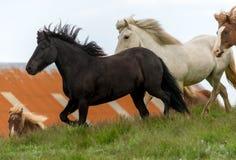 Un gregge dei cavalli islandesi in un pascolo in Islanda Immagini Stock Libere da Diritti