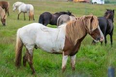 Un gregge dei cavalli islandesi in un pascolo in Islanda Immagine Stock