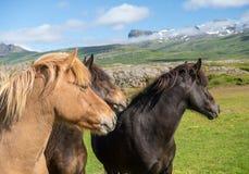 Un gregge dei cavalli islandesi in un pascolo in Islanda Fotografie Stock