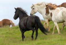 Un gregge dei cavalli islandesi in un pascolo in Islanda Fotografia Stock Libera da Diritti
