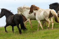 Un gregge dei cavalli islandesi in un pascolo in Islanda Immagini Stock
