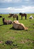 Un gregge dei cavalli islandesi in un pascolo in Islanda Fotografie Stock Libere da Diritti