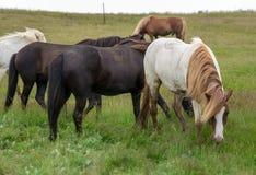 Un gregge dei cavalli islandesi in un pascolo in Islanda Fotografia Stock