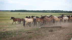 Un gregge dei cavalli nel pascolo video d archivio