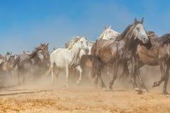 Un gregge dei cavalli nella polvere e nella foschia esaurisce il recinto per bestiame Fotografie Stock