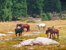 Un gregge dei cavalli pasce su un prato della montagna Fotografia Stock Libera da Diritti
