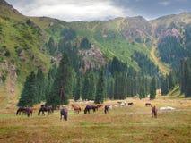 Un gregge dei cavalli pasce su un prato della montagna Fotografia Stock