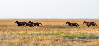 Un gregge dei cavalli selvaggii che galoppano attraverso la steppa Fuoco selettivo fotografie stock libere da diritti