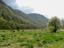 Un gregge dei cavalli selvaggii che pascono in un prato nelle colline pedemontana delle montagne immagini stock libere da diritti
