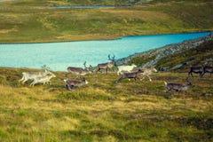 Un gregge dei cervi funziona lungo la tundra fotografia stock libera da diritti