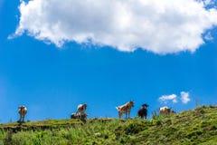Un gregge dei vitelli nella campagna Fotografia Stock