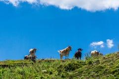 Un gregge dei vitelli nella campagna Immagini Stock