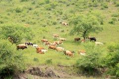 Un gregge del bestiame sta pascendo Immagini Stock Libere da Diritti