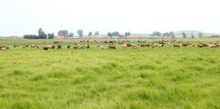 Un gregge del bestiame sta pascendo Immagine Stock