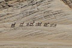 Un gregge del bighorn Fotografie Stock