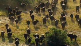 Un gregge del bufalo che pasce ad un foro di innaffiatura, pascolo di Okavango di delta di Okavango, Botswana, Africa sudoccident fotografia stock libera da diritti