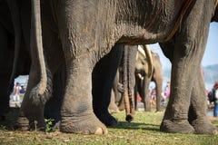 Un gregge del primo piano degli elefanti Elefante allevato Immagini Stock