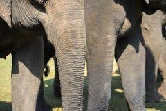 Un gregge del primo piano degli elefanti Elefante allevato Immagini Stock Libere da Diritti