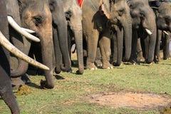 Un gregge del primo piano degli elefanti Elefante allevato Immagine Stock