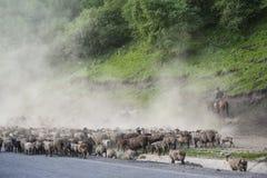 Un gregge del trasferimento delle pecore da pascolo invernale nel pascolo di estate Fotografie Stock