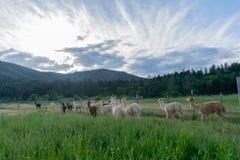 Un gregge dell'alpaca che si dirige a casa Fotografia Stock Libera da Diritti
