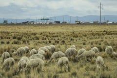 Un gregge dell'alpaca in un prato, Perù Immagine Stock