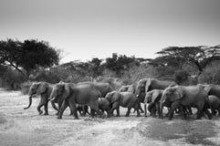 Un gregge dell'elefante Fotografie Stock Libere da Diritti