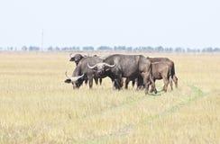 Un gregge della Buffalo nel deserto fotografia stock