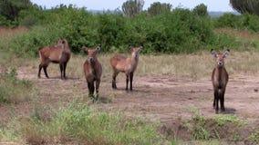 Un gregge delle antilopi di eland stock footage