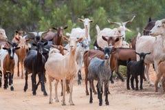Un gregge delle capre Fotografie Stock