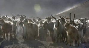 Un gregge delle capre cornute della montagna con colore bianco e nero lungo della lana ed i corni alti segue la strada della mont Immagine Stock