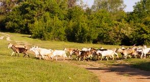 Un gregge delle capre da pascolare Fotografie Stock Libere da Diritti