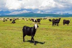 Un gregge delle capre nel pascolo un giorno di estate mongolia Fotografia Stock