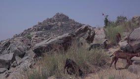 Un gregge delle capre vicino al fiume video d archivio