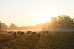 Un gregge delle mucche fotografie stock libere da diritti