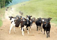 Un gregge delle mucche Fotografia Stock Libera da Diritti