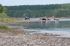 Un gregge delle mucche ad un posto di innaffiatura dal fiume punto di vista del paese Estate Nei precedenti è un'abetaia fotografia stock libera da diritti