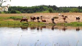 Un gregge delle mucche all'innaffiatura estigue la sete con acqua ed i resti a mezzogiorno video d archivio