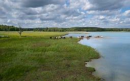 Un gregge delle mucche che bagnano in un lago Fotografie Stock