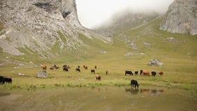 Un gregge delle mucche che pascono il prato della regione montana sul lago archivi video