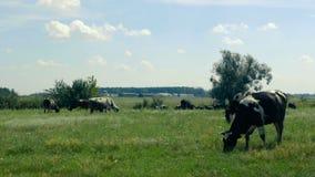 Un gregge delle mucche che pascono nel prato, mangiante erba verde Le grandi case dell'azienda agricola sono lontano sui preceden video d archivio