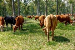 Un gregge delle mucche che pascono nella foresta fotografie stock