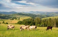Un gregge delle mucche che pascono su un prato in un'area montagnosa Fotografie Stock Libere da Diritti