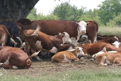 Un gregge delle mucche che si trovano nella tonalità sotto un albero dopo il pascolo Abbellisca con le mucche su un prato vicino  Immagini Stock