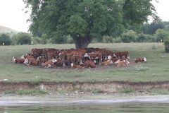Un gregge delle mucche che si trovano nella tonalità sotto un albero dopo il pascolo Abbellisca con le mucche su un prato vicino  Immagine Stock