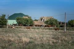 Un gregge delle mucche ritorna su una strada rurale dal pascolo Fotografia Stock Libera da Diritti