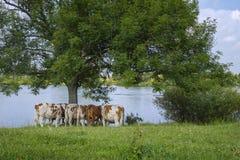 Un gregge delle mucche sta sotto un albero Fotografia Stock Libera da Diritti